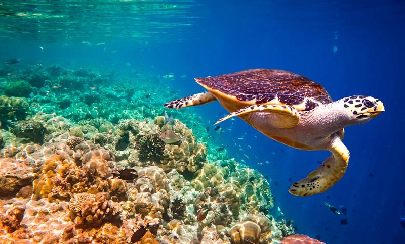 Das Breakfast Bend der Similans ist besonders berühmt für seine Hawksbill Schildkröten. (#05)