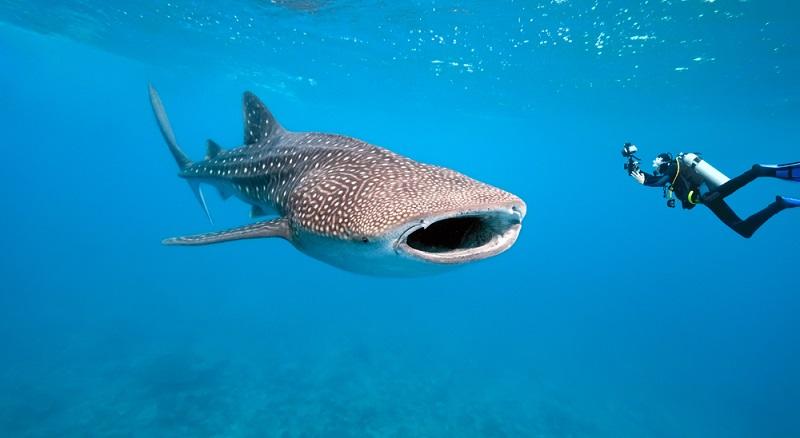 Mit den gigantischen Fischen zu tauchen ist eines der absoluten Highlights für viele Taucher. (#02)