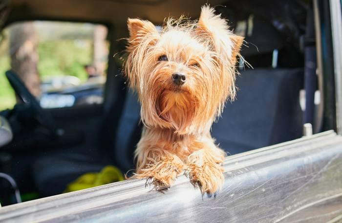 Im Auto zu verreisen ist für die Fellnase die verträglichste Art zu Reisen. (Foto: shutterstock - Vershinin89)